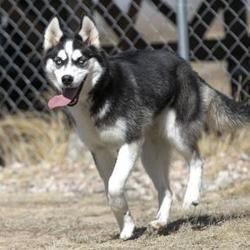 Colorado Springs Co Husky Meet Weeko A Pet For Adoption