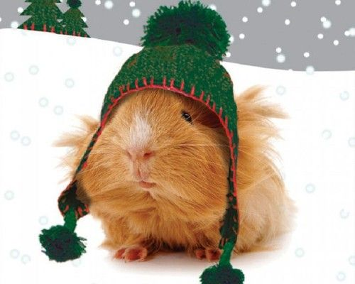 Guinea pigs in hats via turnitupandtuneyouout guinea for Christmas pictures of baby animals