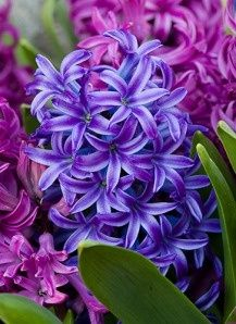 I Love This Stalk So Bushy Yet Very Detailed Star Shaped Blooms So So Pretty Hyacinth Flowers Flowers Purple Flowers Pretty Flowers