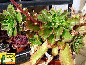 Echeveria Fulgens Var Obtusifolia Suculentas Jardineria