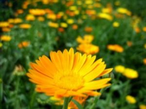 Marigolds For Pest Control