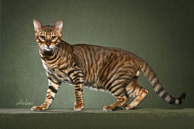 The Toyger Is A Breed Of Domestic Cat The Result Of Breeding