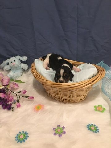 Basset Hound puppy for sale in TAYLORS, SC. ADN-29433 on ...