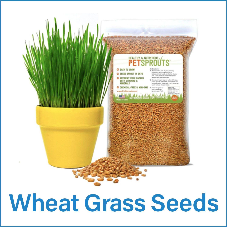 How To Grow A Cat Grass Bed Cat grass, Grass, Wheat