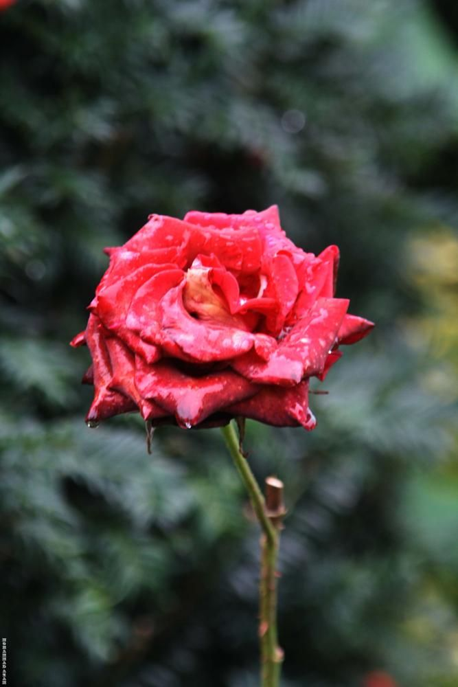 Red Rose 155 by Mohammad Azam