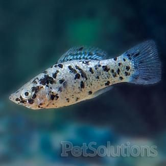 Dalmation Molly Fish