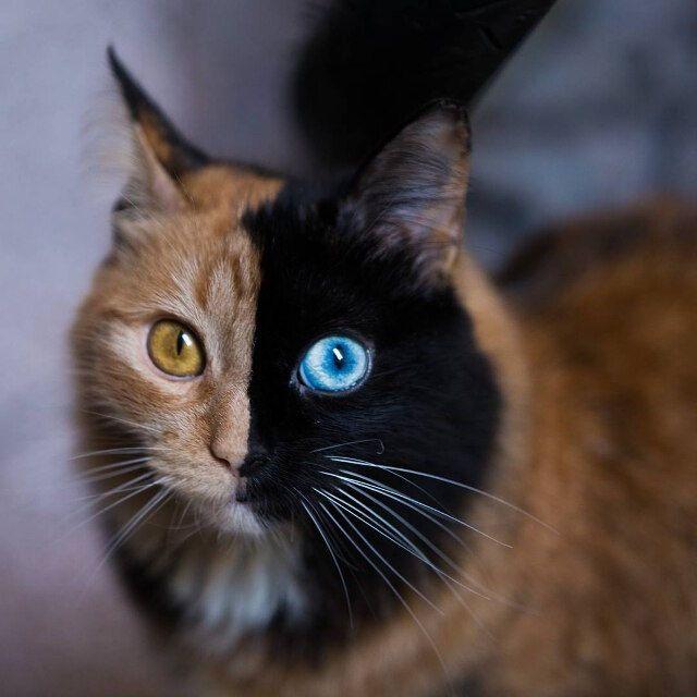 Beautiful Chimera Cat Has Half Black Face With Blue Eye Half Orange Face With Gold Eye Tortoise Shell Cat Cute Baby Animals Animals Beautiful