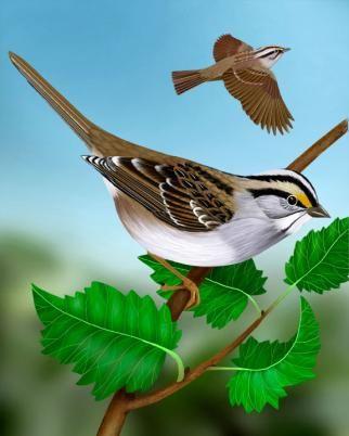White-throated Sparrow - Whatbird.com