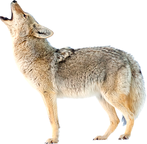 Coyote Vs Battles Wiki Fandom Powered By Wikia Coyote Song Dog Wolf Photos