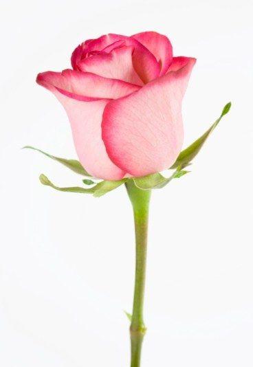 D selo con flores desciframos cu l es su significado - Significado de las rosas rosas ...