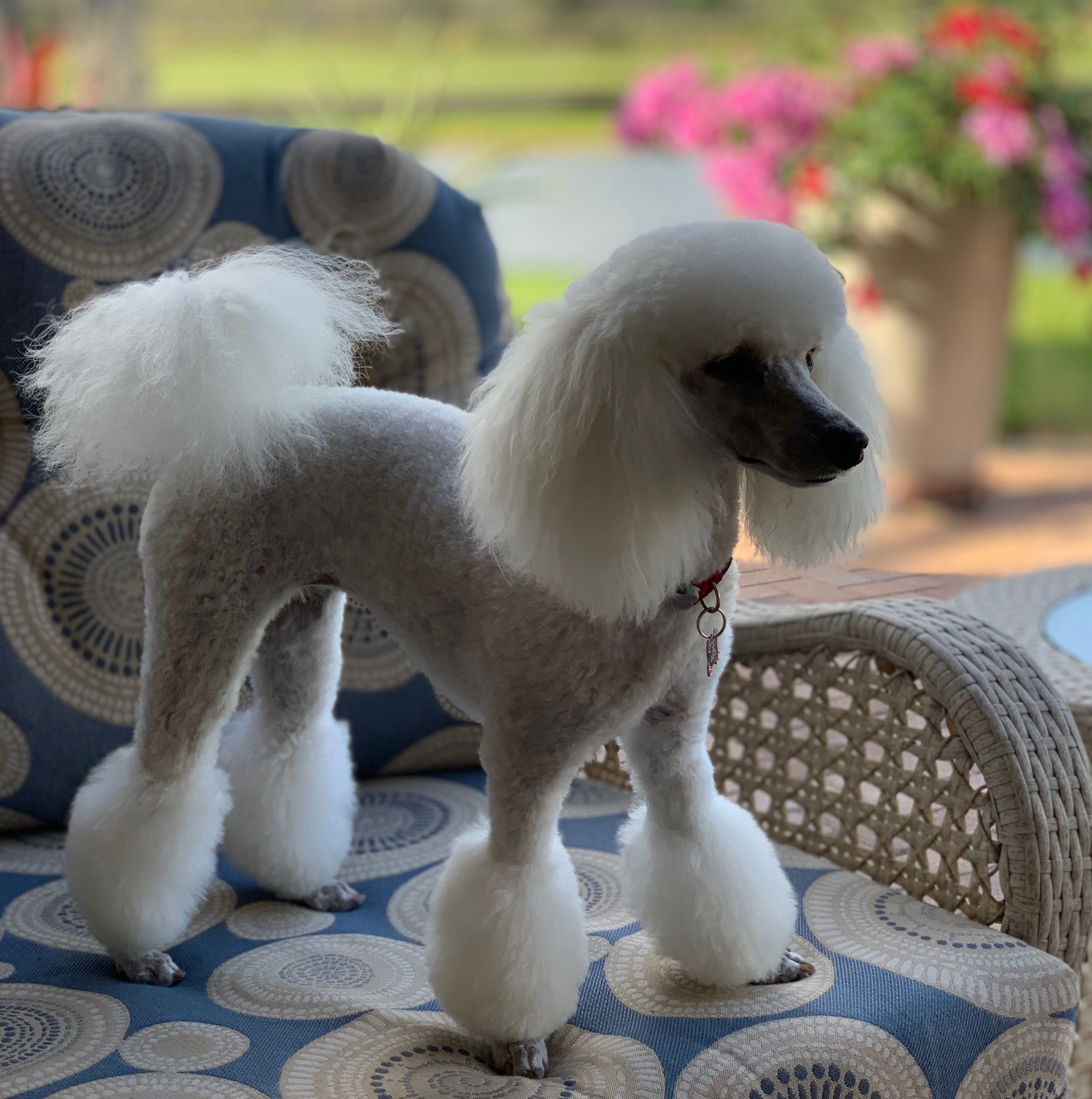 Beautiful Tres Jolie Fresh From The Poodle Boutique In Ft Myers