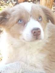 Stunning Border Collie Puppies Border Collie Puppies For Sale Stratford Victoria On Pups4sale Https Ww Border Collie Puppies Collie Puppies Border Collie
