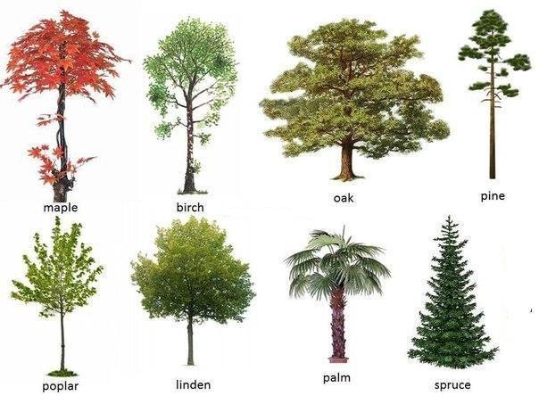 Tipos De Arbolitos Para Jardin