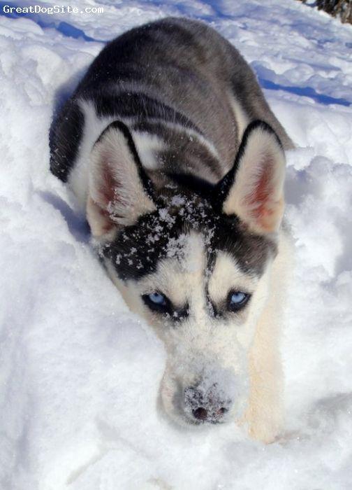 Siberian Husky 3 Black And White Black Circles Around Both Eyes