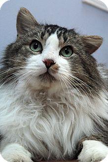 St Louis Mo Domestic Longhair Meet Stanley A Cat For Adoption Http Www Adoptapet Com Pet 17511850 St Louis Missouri Cat With Images Pets Cat Adoption Cats