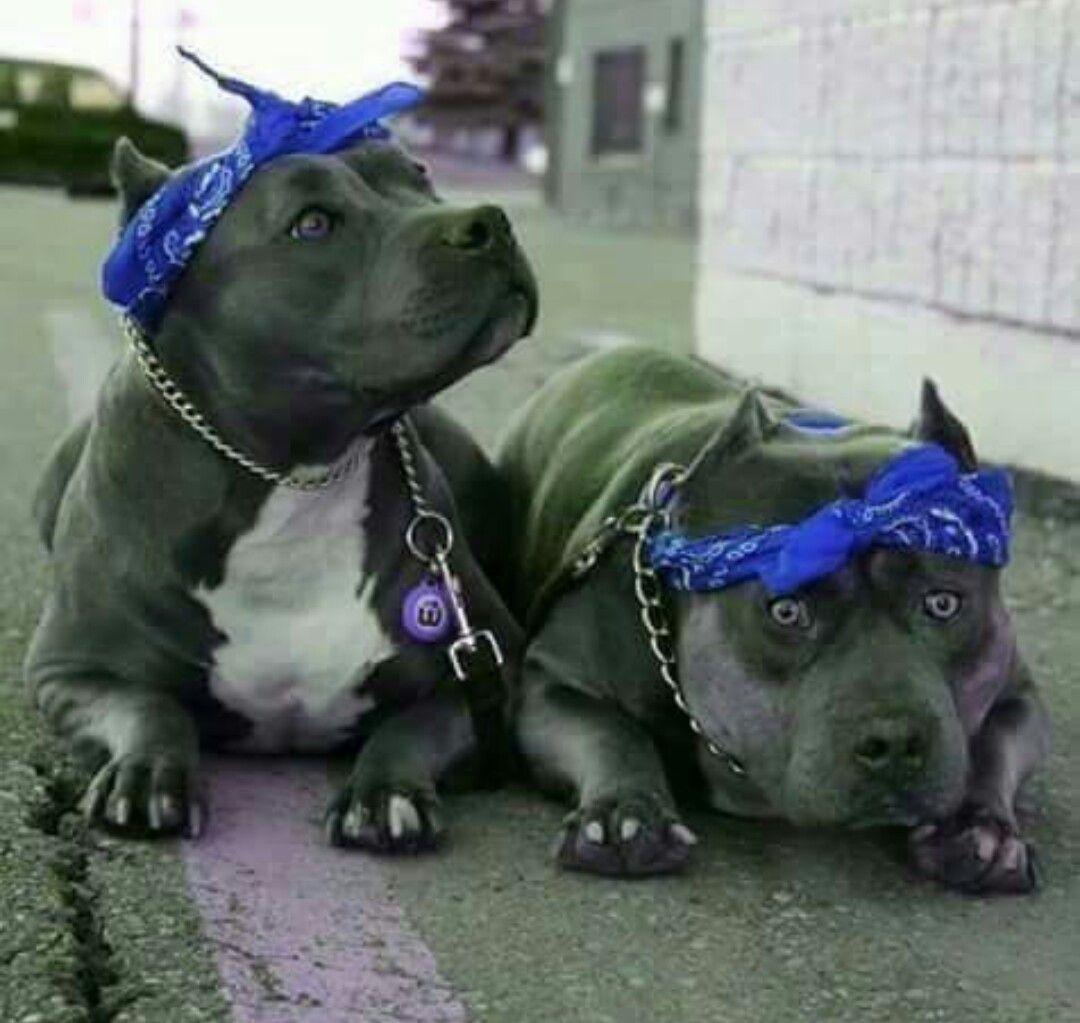 Thug Life Haha Pitbull Dog Pitbull Terrier Pitbull Puppies