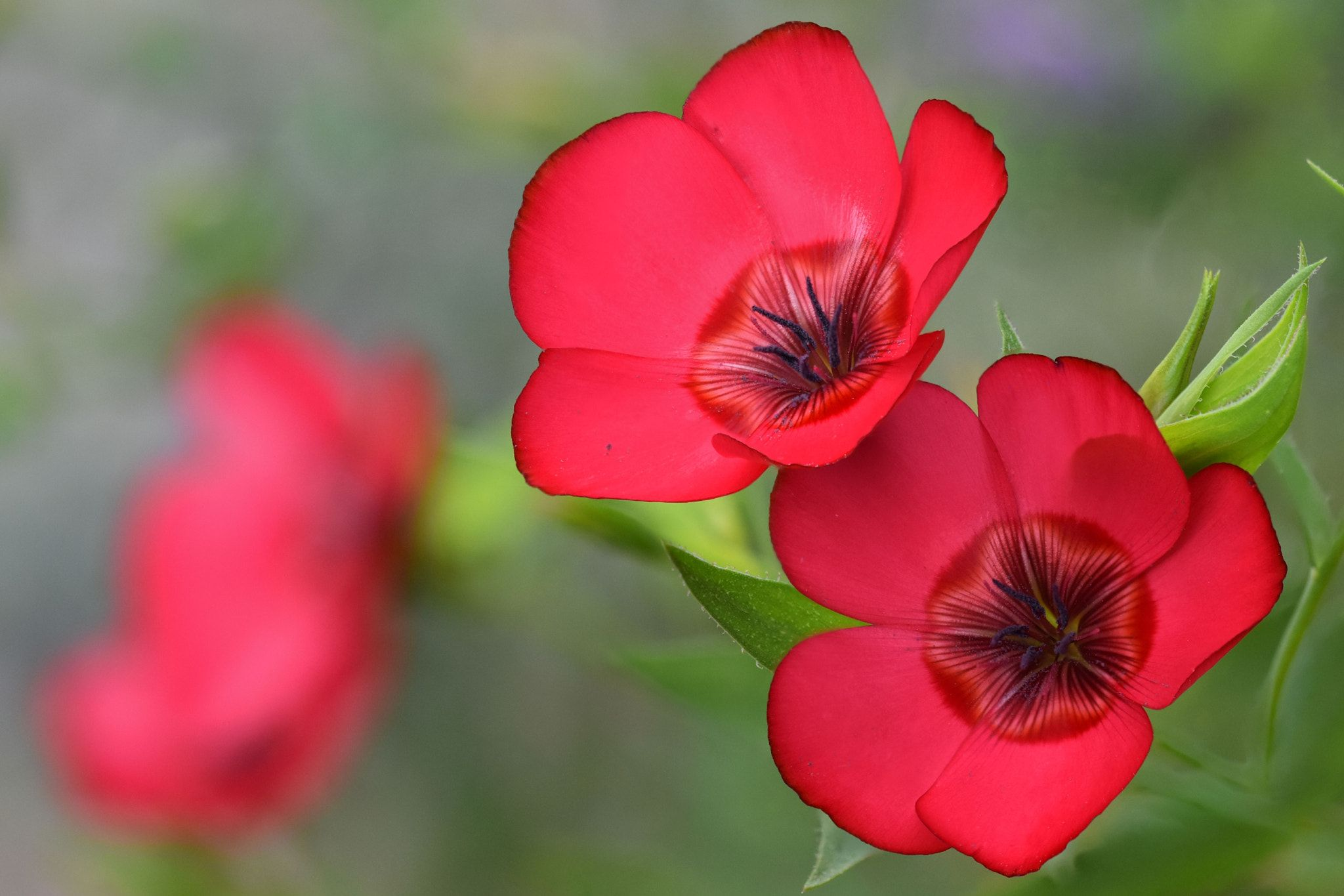 Linum Grandiflorum Linum Grandiflorum Commonly Known As Scarlet Flax Is An Annual Herb Native To Algeria Flax Flowers Vertical Herb Gardens Spring Garden