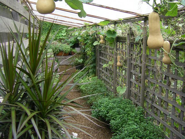 butternut squash hanging from trellis