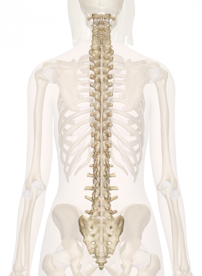 Spine Anatomy Pictures And Information Medical Pinterest Anatomy