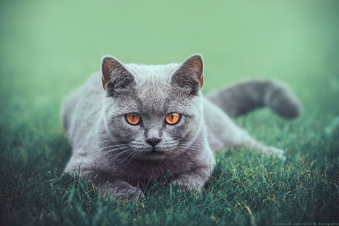 look at me by CliffWFotografie  >^..^< #katze