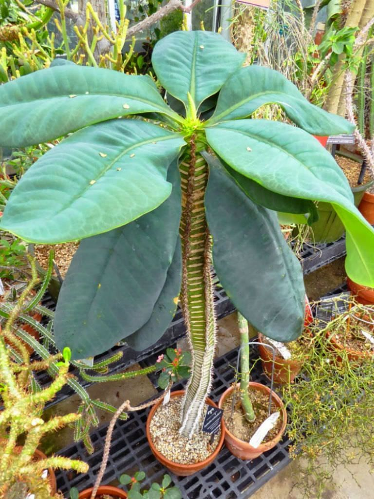 Euphorbia Neohumbertii Planting Succulents Unusual Plants Plants