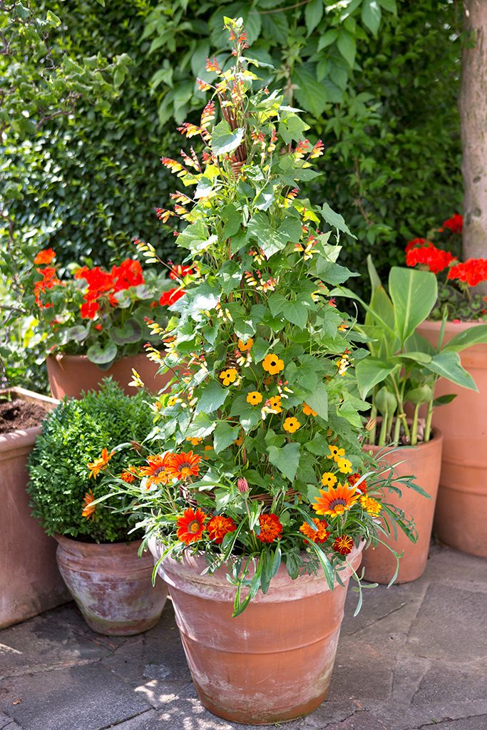 Potted Plants And The Necessary Spring Care: Gazania And Black-eyed Susan Pot Display
