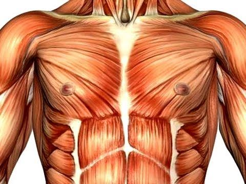 The Chest Muscles Anatomy and Benefits | Health & Fitness ...