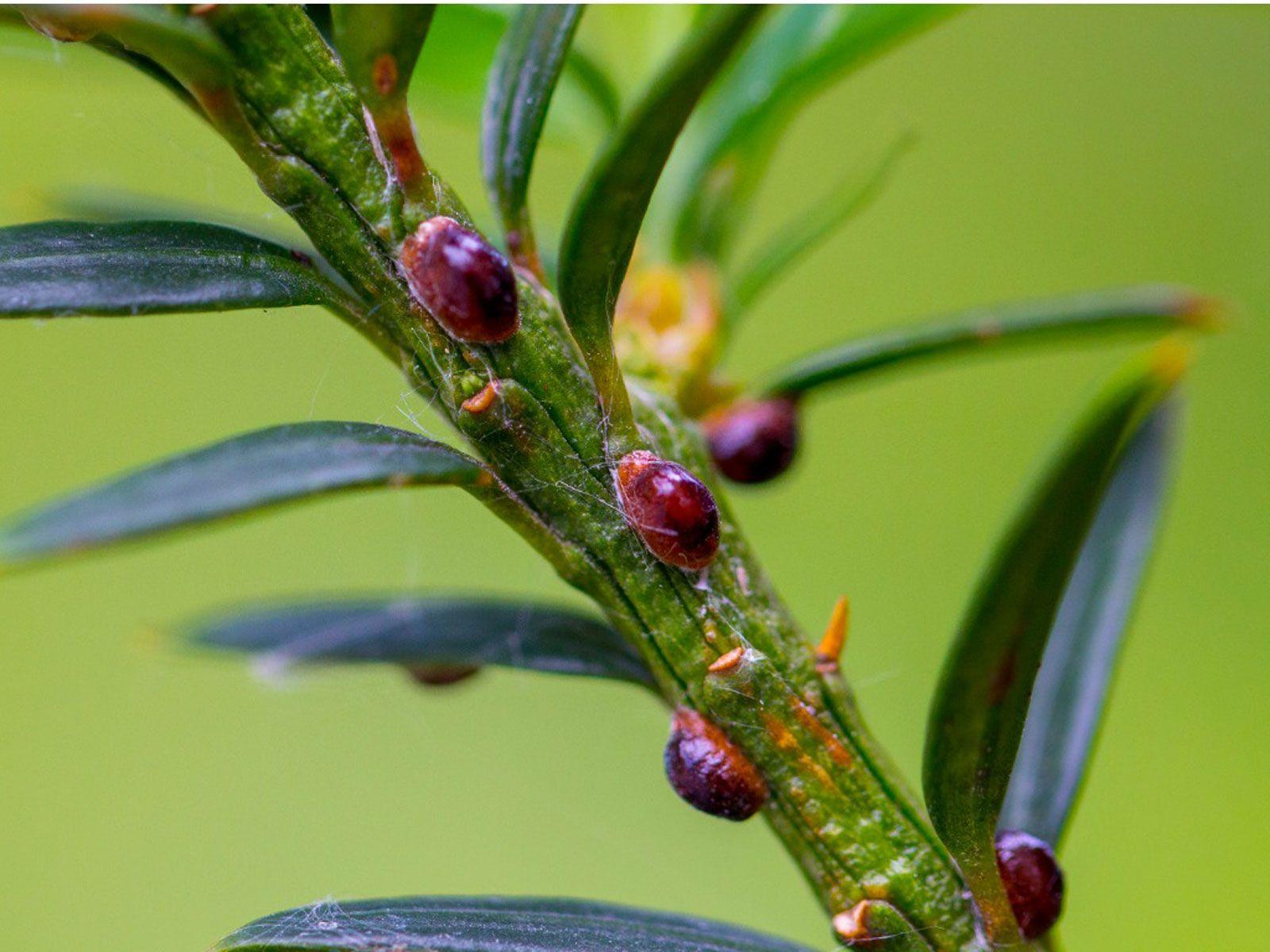 797e68ec687c2d220362f53f7df82bec - How To Get Rid Of Scale Insects On Citrus Trees