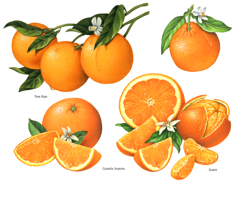 fruit illustrations of oranges with whole fruit and slices ...