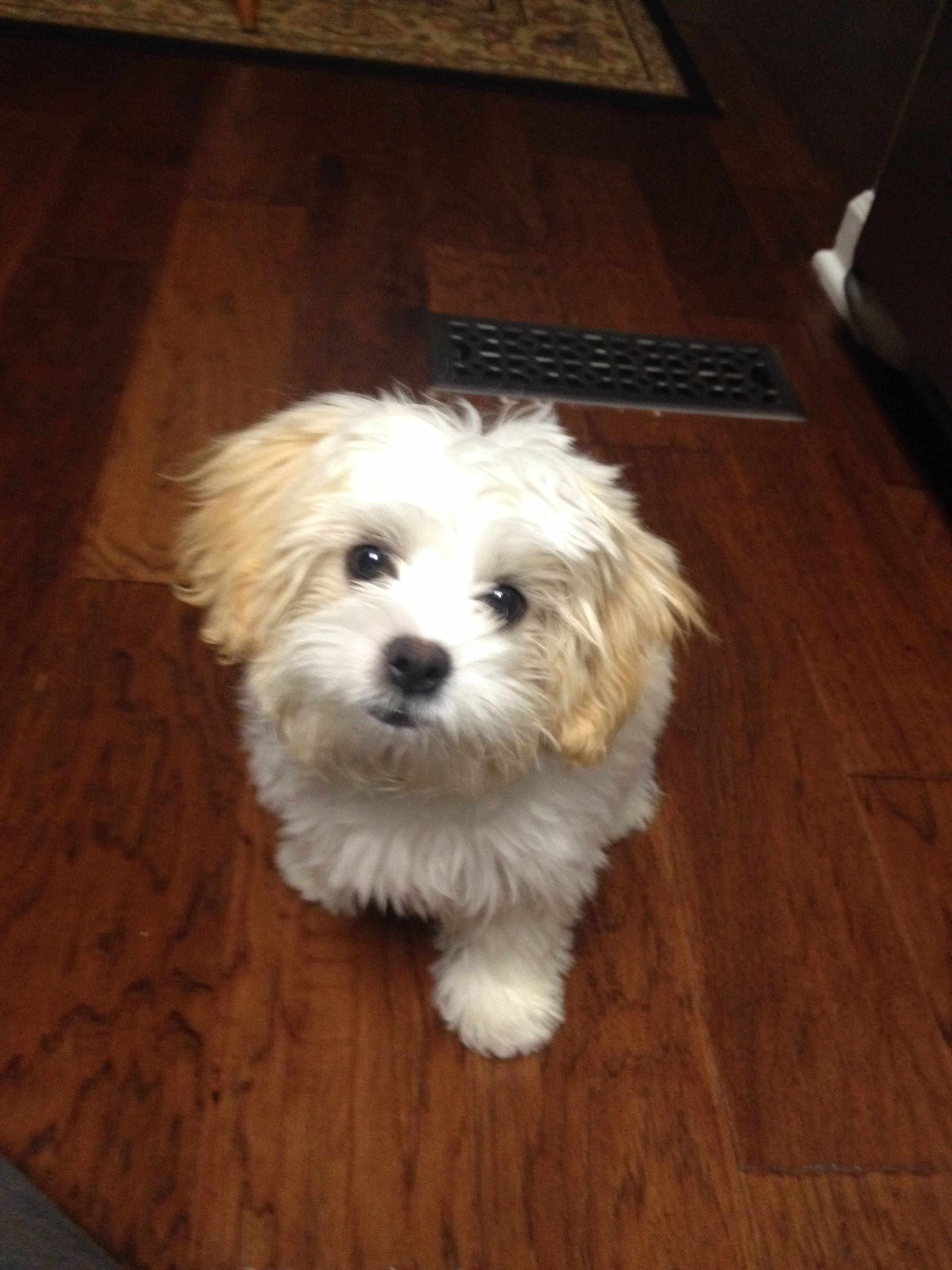 Five Month Old Oliver A Lovable Zuchon Shichon Puppies Puppies