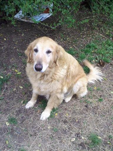 15 Retriever Named Daisy Mae Golden Retriever Retriever Pet Dogs