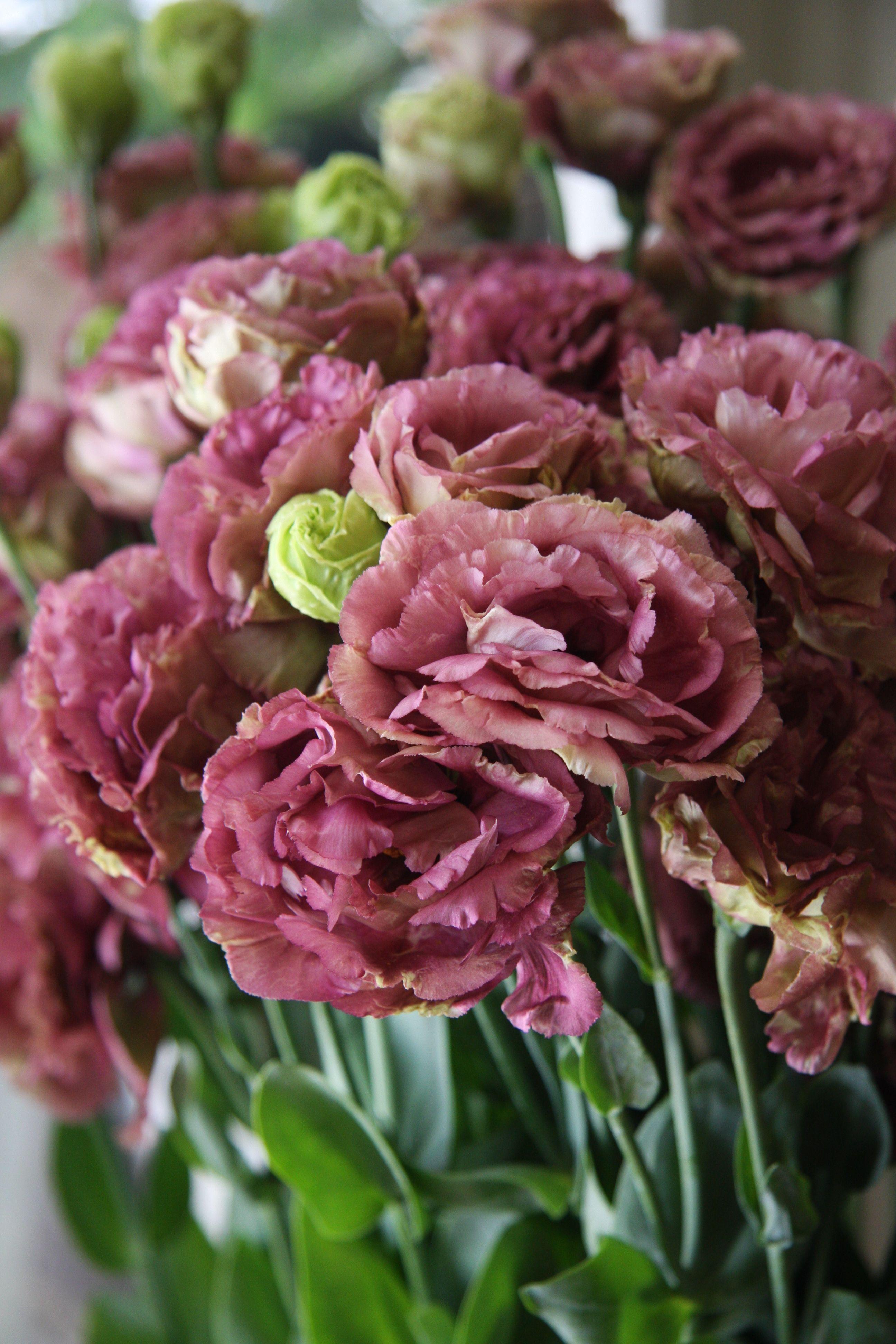 Eustoma Amber Double Marron Portrait Pinterest Flowers Indoor
