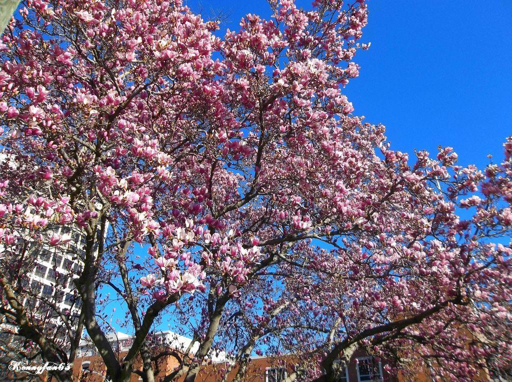 Cherry Tree In Bloom In Macon Georgia Macon Georgia Macon Cherry Blossom Tree