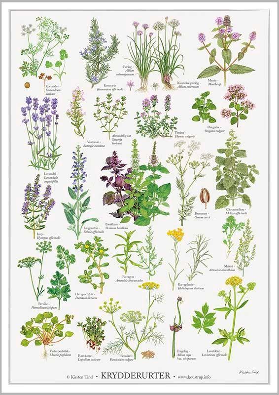Krydderurter Plakat Krydderurter Botanisk Plakat Karryplante