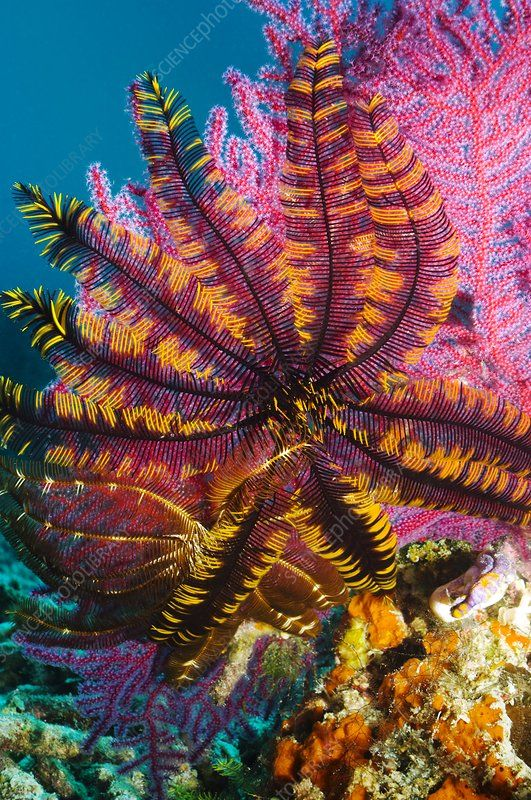 Featherstar on gorgonian coral - Stock Image - C004/2270