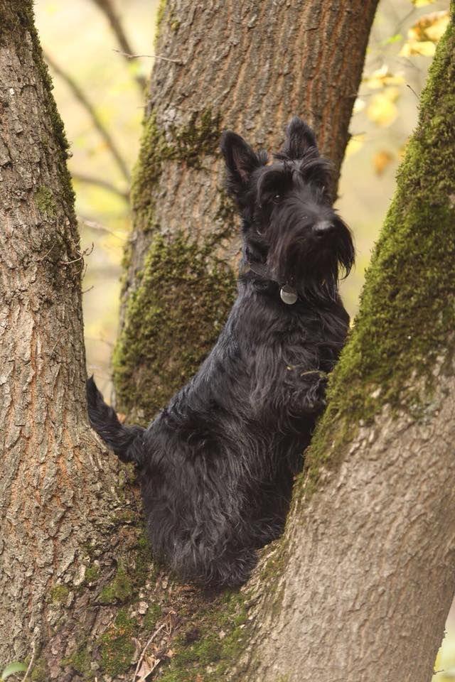 Vysoko Sizhu Daleko Glyazhu Scottish Terrier Scottie Dog Scottie