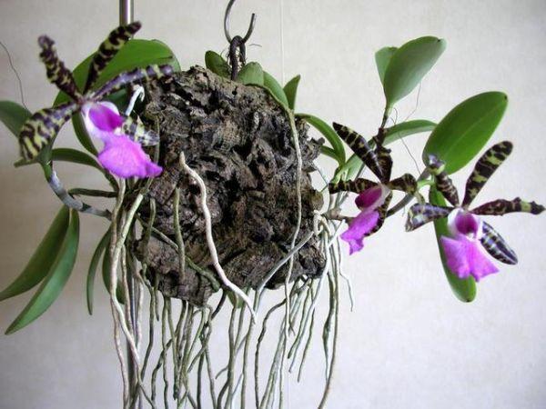 Cattleya Aclandiae | Cattleya aclandiae =