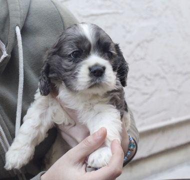 Litter Of 2 Cocker Spaniel Puppies For Sale In San Jose Ca Adn 25905 On Puppyfinder Com Gend Cocker Spaniel Puppies Puppies For Sale Spaniel Puppies For Sale