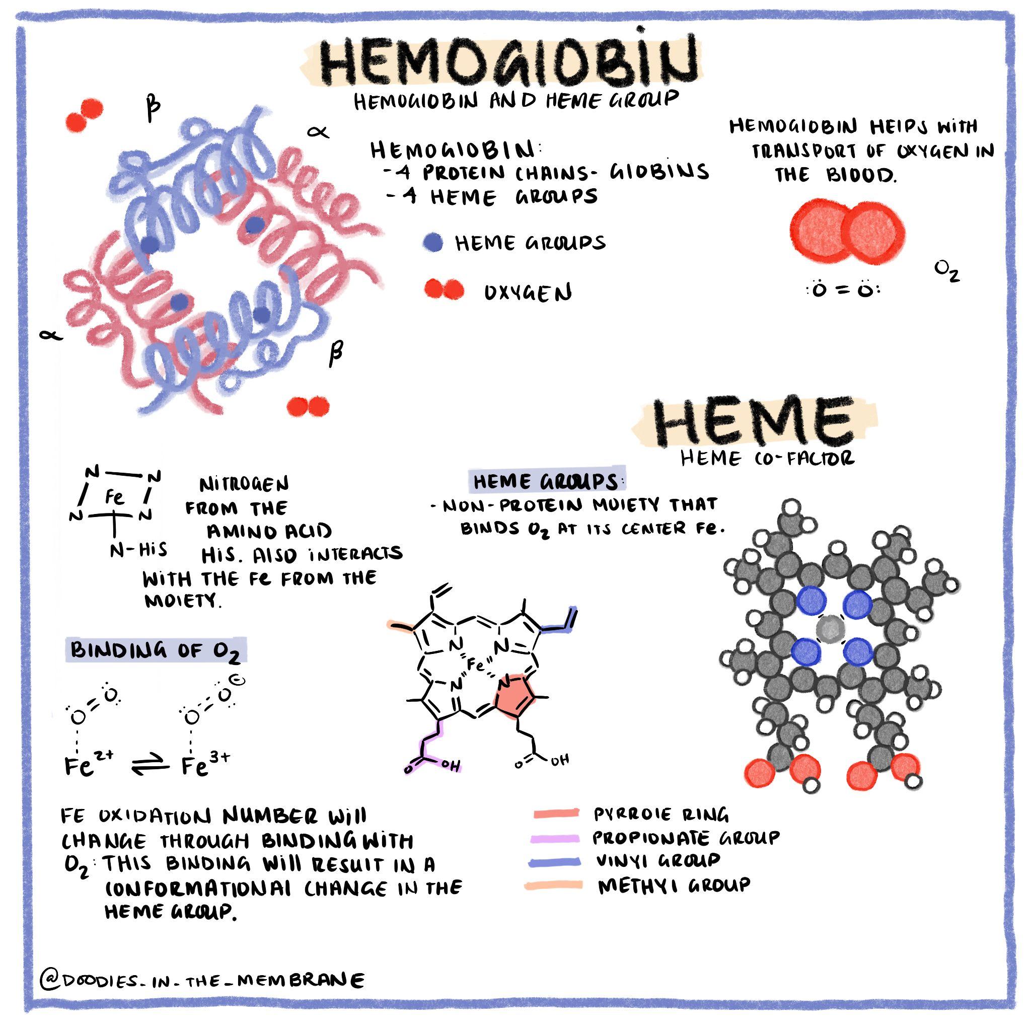 Biochemistry Infographic Hemoglobin In 2020 Biochemistry Pretty Notes Science Doodles