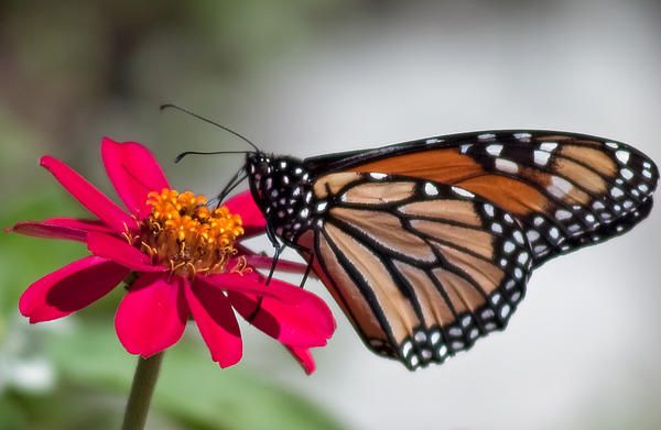 Monarch Butterfly in Summer