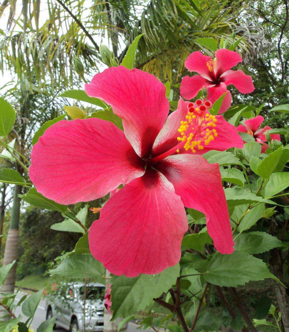 Red Hibiscus Flower Hibiscus Hibiscus Flowers Flowers