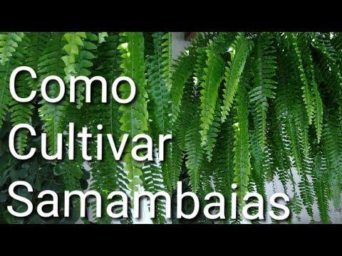 Dicas para cultivar  suas Samambaias