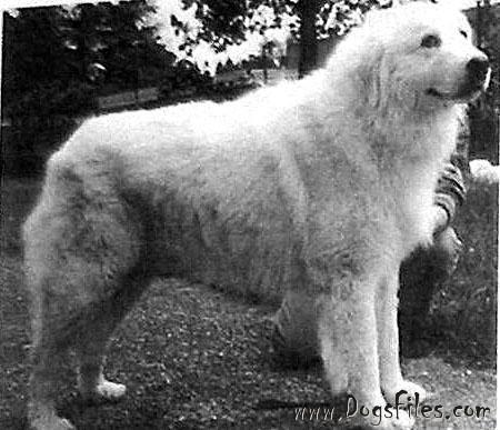 Eng Sh Ch Tapeatom Gadding Around At Sandylands Dogs Dog Breeds