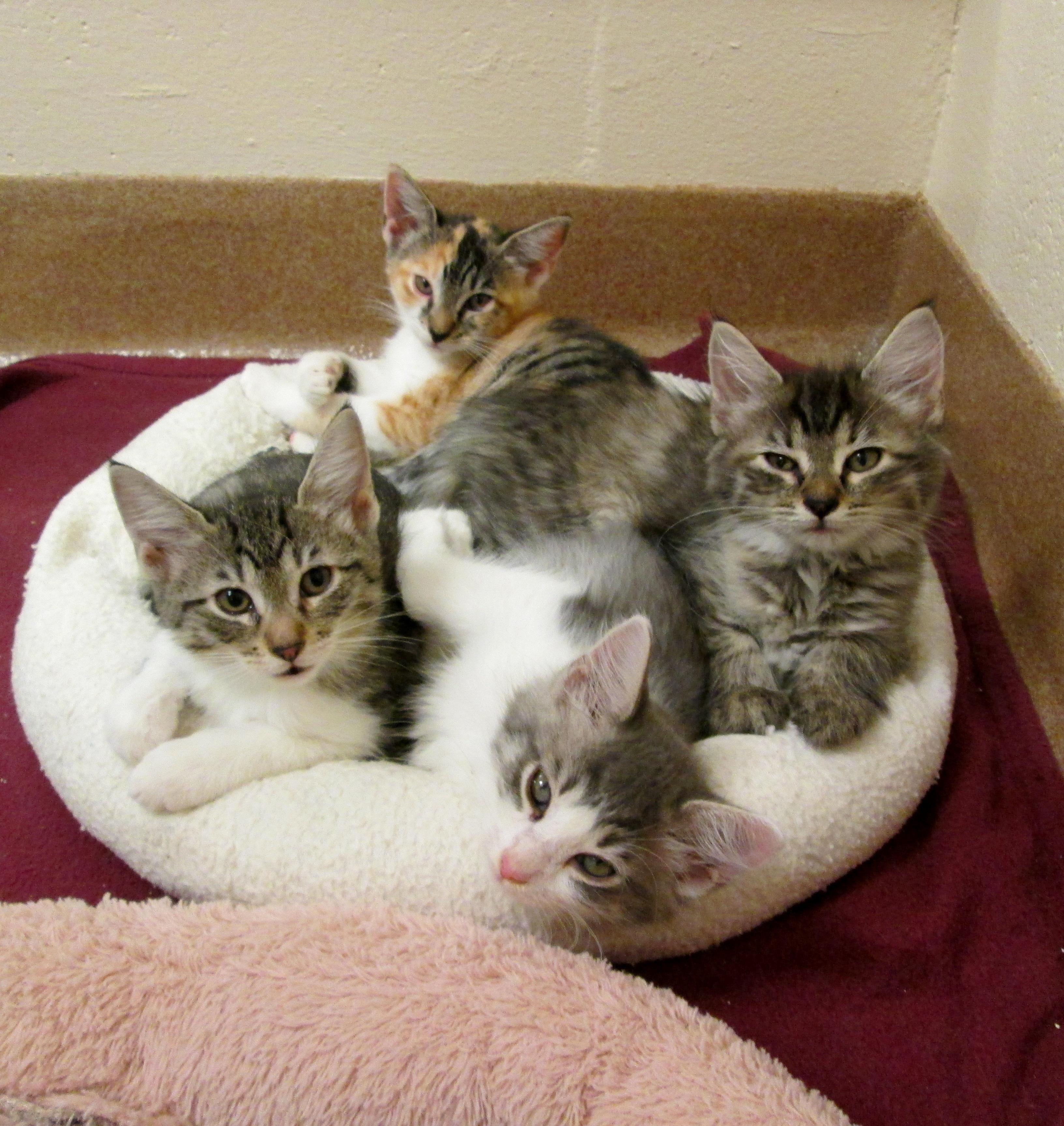 Cat For Adoption Kittens A Domestic Short Hair In Kittens Cat Petfinder Baby Fl Adoption Animal Pet Domes In 2020 Cat Adoption Kittens Cutest Cats And Kittens