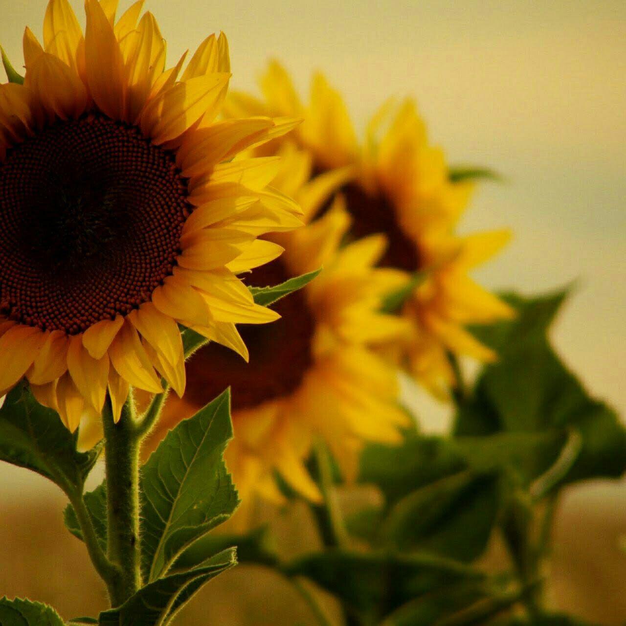 Pin By Margaret On Kwiaty Sunflower Wallpaper Beautiful Flowers Happy Flowers