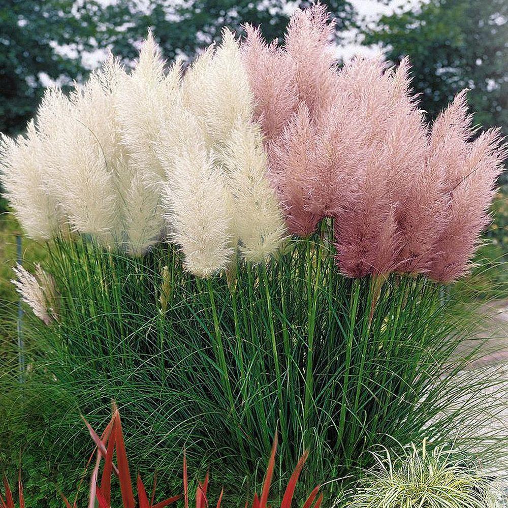 Cortaderia selloanapampas grass fiori pinterest grasses and shrub