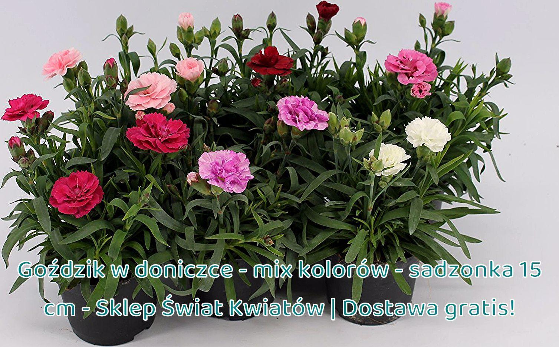 Gozdzik W Doniczce Mix Kolorow Sadzonka 15 Cm Sklep Swiat Kwiatow Dostawa Gratis Open Terrariums Climbing Roses Beautiful Roses