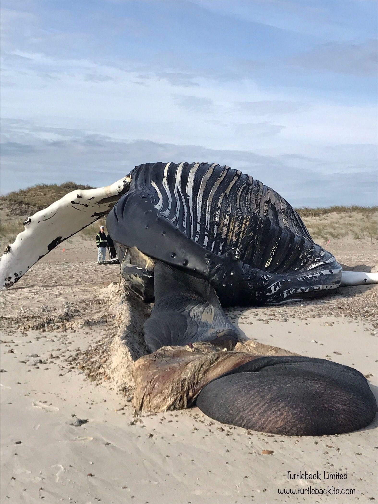 Beached Whale Meme Fat