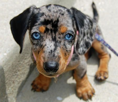 Blue Eyed Dapple Dachshund Riley The Dachshund Puppies Daily