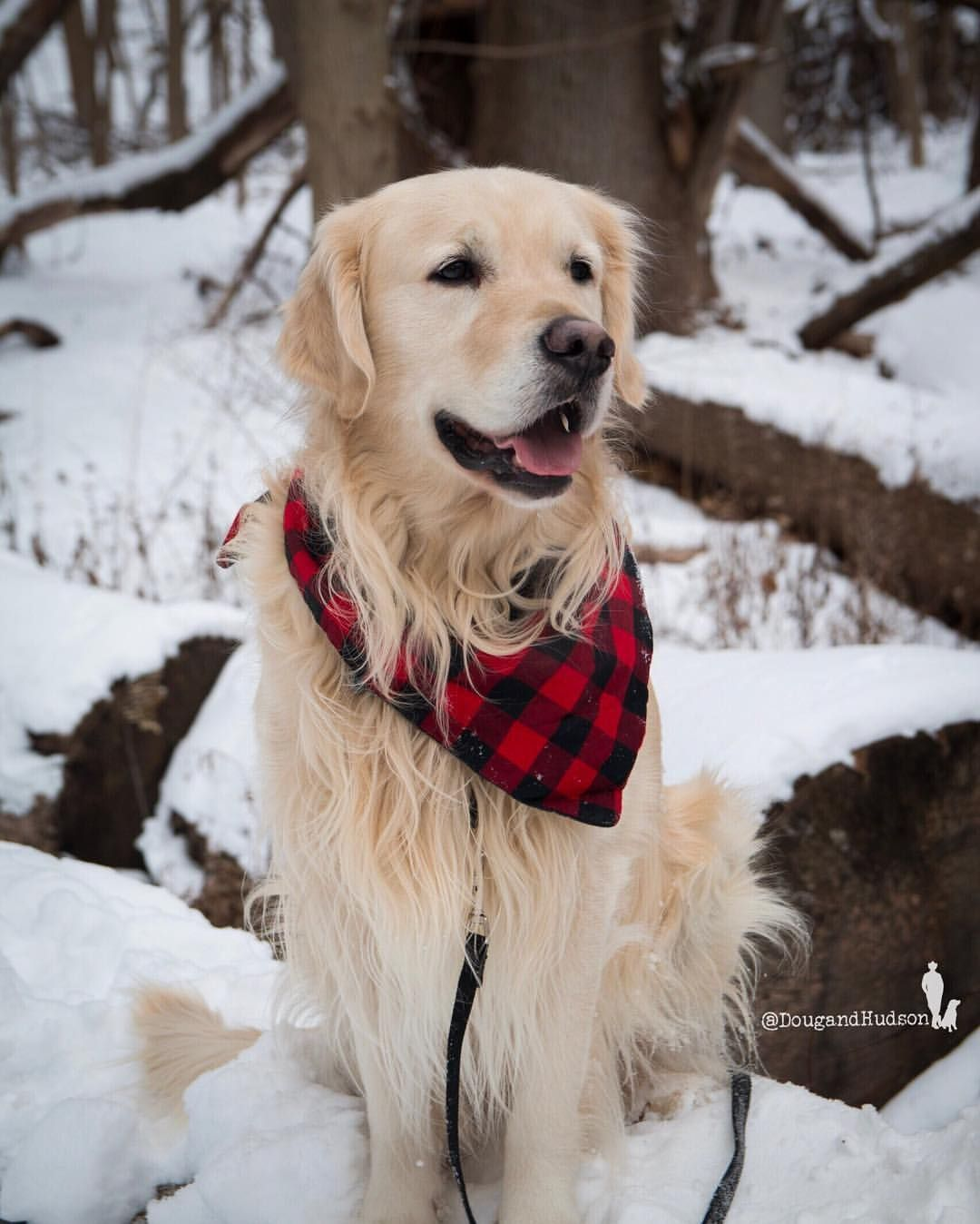 Golden Retriever Why Are They The Perfect Pets Golden Retriever Photography Golden Retriever Retriever